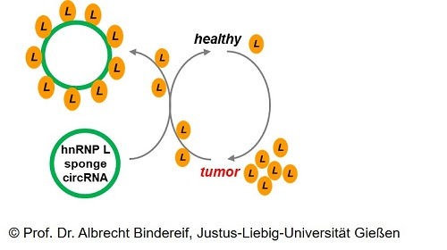 Designer Circular RNA as Protein Sponge for Cancer Therapy